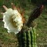 Trichocereus vollianus TB 478.5 (Siches, Cliza to Anzaldo, 2800m, Cochabamba, Bolivia)