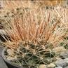 Ancistrocactus pinkavanus (Quatrocienegas, Coahuila, Mexico)