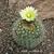 Frailea tenuissima v. albisetosa Schl 53 (Cuchilla Negra, Repressa, Rivera, Uruguay)