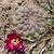 [PLANT/PFLANZE] Sulcorebutia pulchra fma MN 618 (S Aiquile, Co Palmar)
