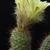 Frailea altasensis PR 714 (Minas do Camaqua, Rio Grande do Sul, Brazil)