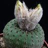 Frailea phaeodisca 'ampliata' PR 533 (Minas de Camaqua to Guaritas, Rio Grande do Sul, Brazil)