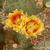 Opuntia polyacantha 'discata' (Cimarron Co, OK)