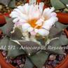 Ariocarpus retusus AL 272 (El Refugio, NL)