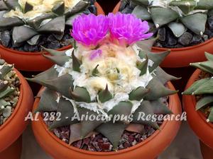 Ariocarpus confusus AL 282 (N Marmolejo, NL)