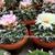 Ariocarpus retusus ssp. scapharostroides AL 420 (El Sauz, SLP)