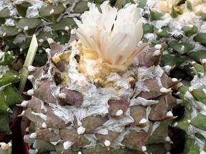 Ariocarpus retusus VM 311 (Sierra de la Paila, COA, Mexico)