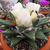 Ariocarpus retusus ssp. scapharostroides LH 453 (Las Tablas, SLP)