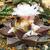 Ariocarpus retusus SB 240 (Matehuala, SLP)