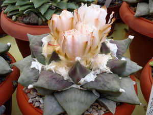 Ariocarpus retusus SB 310 (Cuesta la Muralla, COA)
