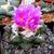 Ariocarpus fissuratus v. intermedius MMR 33 (Est. MartŽ, Sierra Paila, Coahuila, Mexico)