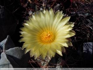 "Astrophytum capricorne ""crassispinoides"""