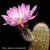 Echinocereus bristolii ssp. floresii (Los Mochis, Sinaloa, Mexico)