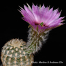 Echinocereus reichenbachii ssp. caespitosus (Shakelford Co, N Abilene, TX, USA)