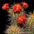 Echinocereus yavapayensis (Yarnell, AZ, USA)