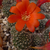 [PLANT/PFLANZE] Rebutia fiebrigii fma MN 365 (SE Narvaez, 2075m, Bol)