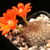 [PLANT/PFLANZE] Rebutia fiebrigii fma MN 354 (Tambo-Gareca, Bol)