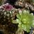 Echinocereus viridiflorus LZ 90 (Monarch Pass, Colorado, 2800m, USA)