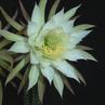 Trichocereus arboricola ISI 89-32 (S Tarija, Bolivia)