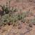 Opuntia phaeacantha MN 559 (W Grand Junction, 1951m, CO, USA)