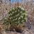 Opuntia phaeacantha MN 557 (Rabbit Valley Rd, W Loma, CO, USA)