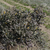 Opuntia imbricata MN 575 (Vogel Canyon, S La Junta, 1330m, CO, USA)
