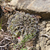 [PLANT/PFLANZE] Lobivia cinnabarina 'zudanensis'  MN 639 (Zudanez - Tomina, 2544m, Bol)