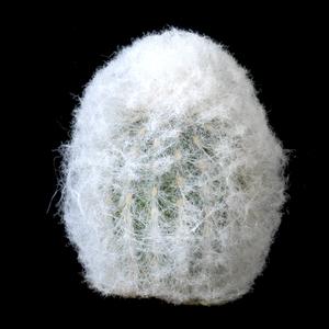 Espostoa nana (Chilete, Peru)