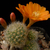 Rebutia pulvinosa BLMT 769.07
