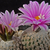 Turbinicarpus valdezianus SB 250