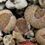 Lithops  pseudotruncatella v. dendricia C 72