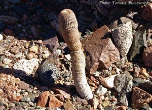 Lobivia famatimensis v. bonniae TB 343.1 (Loro Huasi, West of Fiambala, Catamarca, Argentina)
