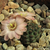 Rebutia pygmaea v. violascens 'odenahlii' TB 135.2