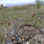Pediocactus simpsonii MN 407 (Hogan Pass, Utah, 2721m, USA)