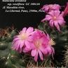 Matucana oreodoxa ssp. roseiflora GC 1084.04 (Depto. La Libertad, Prov. Pataz, E Maraヨラn river,  2500m, Peru)